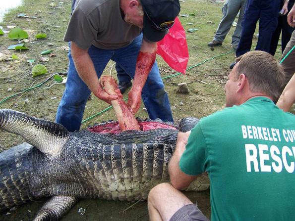 Alligator Eats Golfers Arm