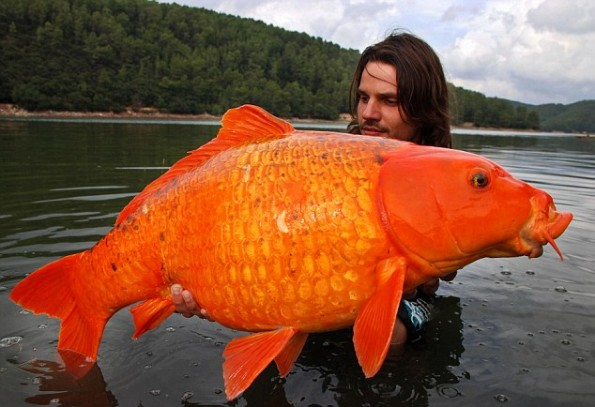 giant gold fish
