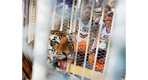 LSU Tiger in Cage