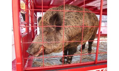 Tusk Arkansas Razorback