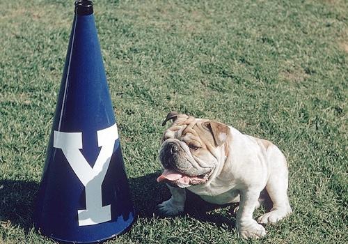 yale-bulldog