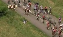 Cow Crossing Causes Cycling Pile Up (Video)