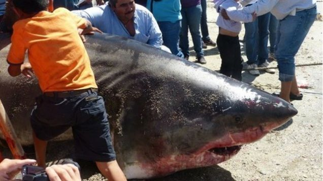 Giant Great White Shark