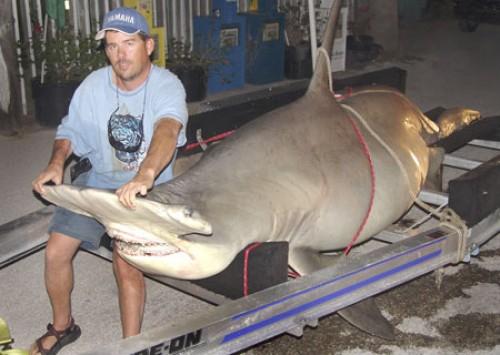largest hammerhead shark - photo #8