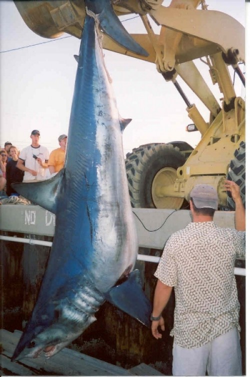 largest shark ever caught - photo #30