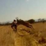 antelope hits mountain biker
