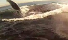 Kayaker's Journey Interrupted By A Blue Whale (Video)