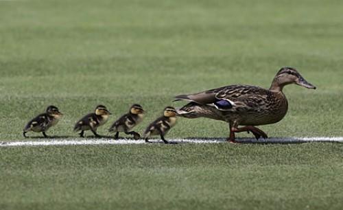 wimbledon ducks