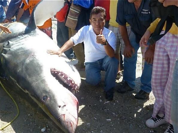 2000 pound great white shark 2