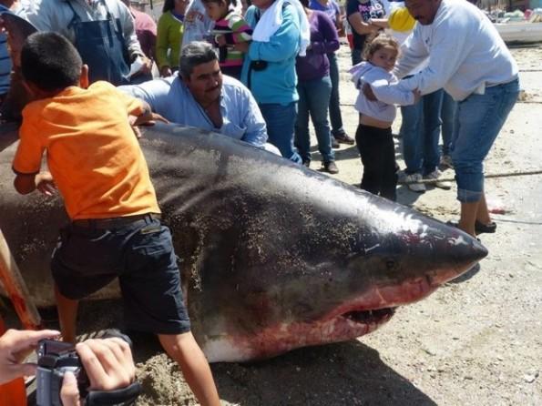 2000 pound great white shark