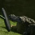 brian gay caddy alligator