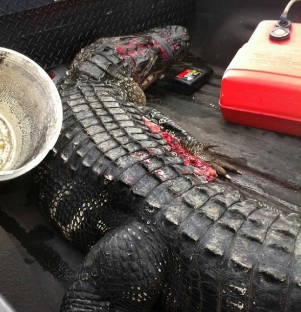alligator that attacked Kaleb Langdale