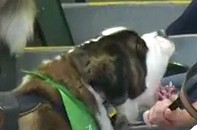 Saint Bernard at the Oakland A's Game Tries to Bite Giants Fan (Video)