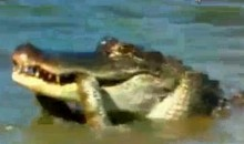 Watch An Alligator Eat A Snake At The PGA Championship (Video)