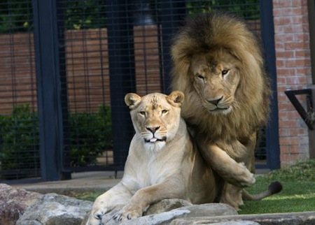 1 University of North Alabama lion mascots leo iii and una