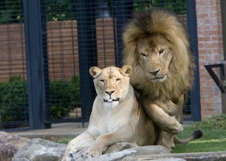 1 University of North Alabama lion mascots leo iii and una