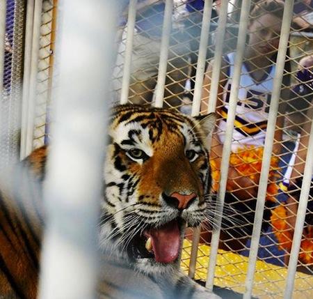 2 lsu mike the tiger vi