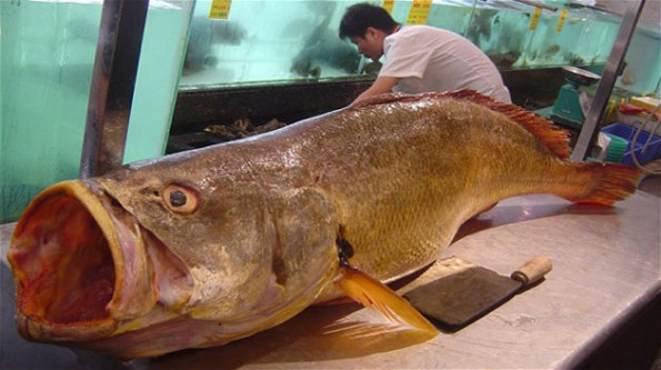 bahaba fish