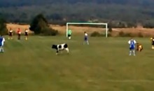 Cow Interrupts Soccer Game In Poland (Video)
