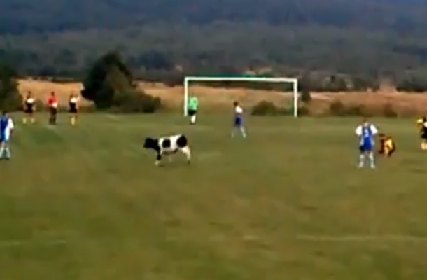 cow interrupts soccer game in poland