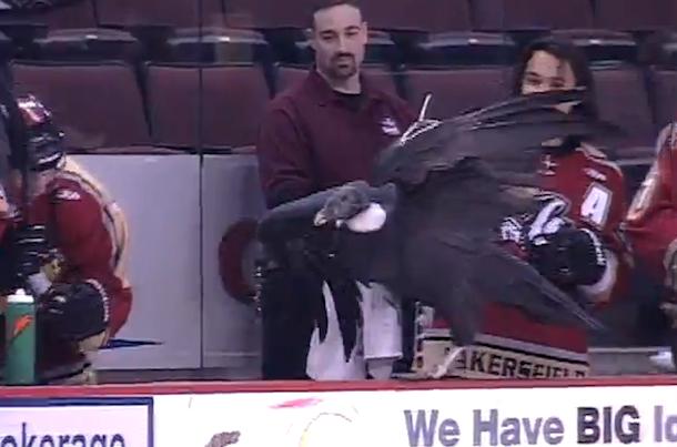 condor gets loose at echl hockey game