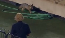 Fox on the Field at Texas Tech Game Last Night (Video)