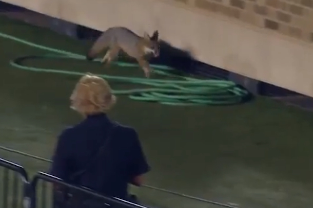 fox on field at texes tech tcu football game