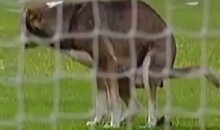 Dog Craps on Pitch During Argentine Soccer Game (Video)