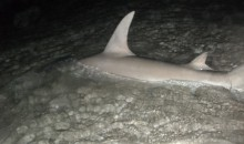 Man Catches 14-Foot Hammerhead Shark at the Beach (Video)