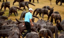 Photo Shows Golfer Playing Through Hundreds of Wolves