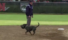 Western Oregon Softball Game Victimized By Glove-Stealing Dog (Video)