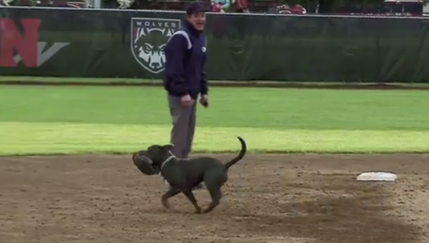 Dog Steals Glove at Softball Game
