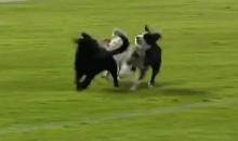 Adorable Puppies Crash Soccer Pitch During Game in Bolivia (Video)