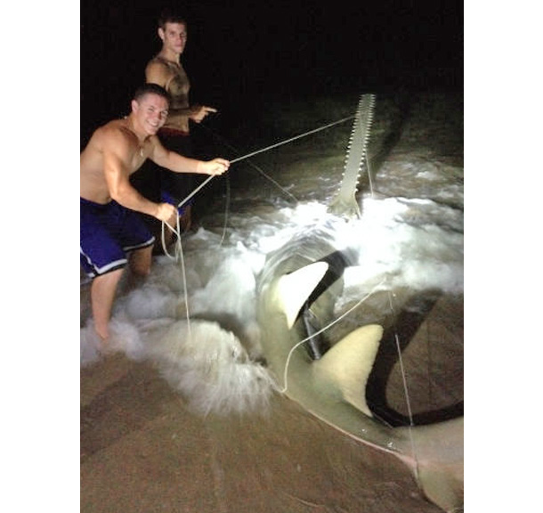 rare sawfish caught on florida beach