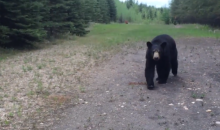 Joggers Stalked by Black Bear for 20 Minutes, Live to Post Video on YouTube (Video)