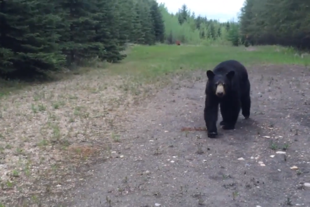 bear chases joggers in alberta