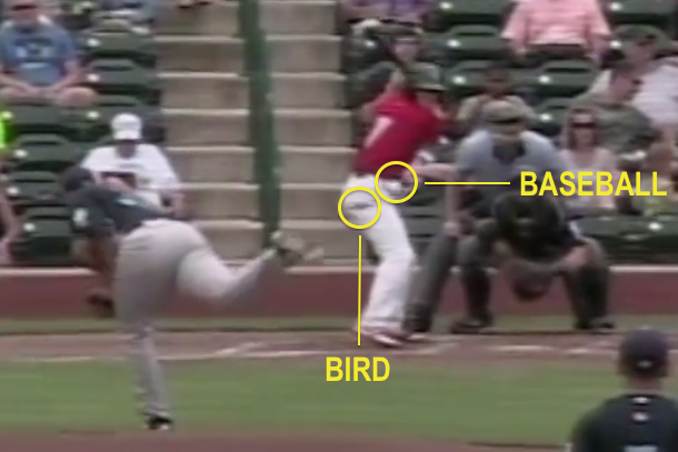 bird hit by baseball