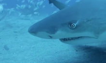 Men with Death Wish Pet Tiger Sharks with No Protection (Video)