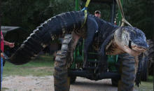 1,015-Pound Gator Caught in Alabama Sets All Sorts of Alabama-Gator Records (Pic and Tweet)