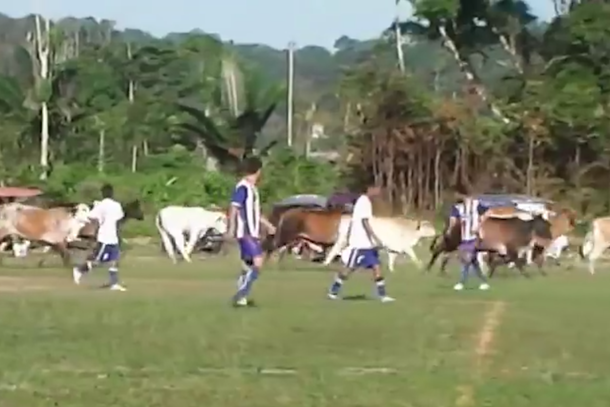 cows invade soccer pitch interrupt game in peru