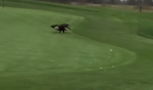 Eagle Steals Golf Ball from Green, Drops It Off at Next Tee Box (Videos)