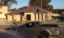 Kangaroo Fight? Kangaroo Fight. (Video)