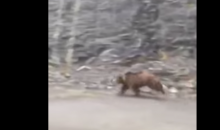 Grizzly Bear Tries to Outrun Car, Comes Pretty Close (Video)