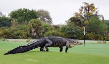 Giant Alligator Invades Florida Golf Course (Photos)