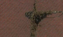 Royals-Angels Game Spring Training Game Interrupted by…BEES! (Video)