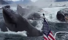 These Humpback Whales Breached RIGHT Next to this Boat (Video)
