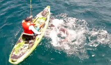 Shark Capsizes Kayak, Fisherman Gets Back in and Lands the Shark (Video)