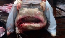 800-Pound 13-Foot Tiger Shark Caught Off South Carolina's Folly Beach (Pic)
