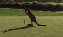 A Kangaroo-Flag Boxing Match on a Golf Course? Yup. (Video)