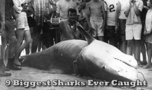 The 9 Biggest Sharks Ever Caught (Video)